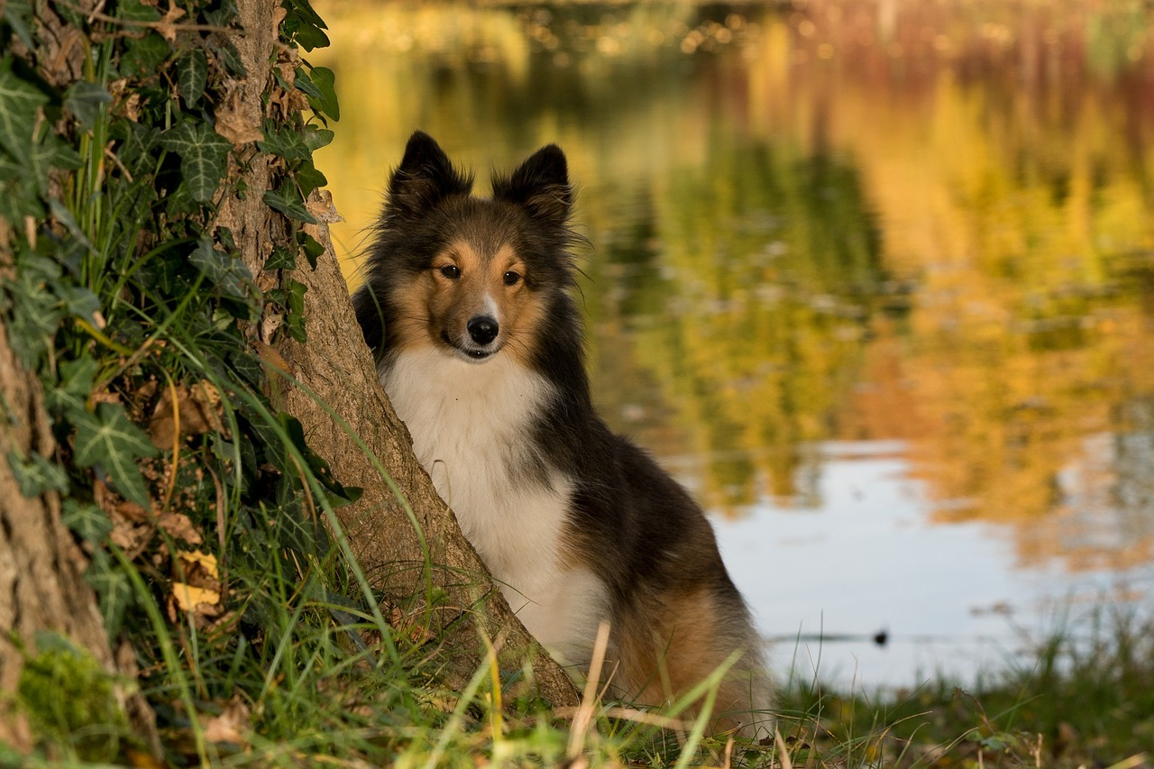 sheltie behind tree